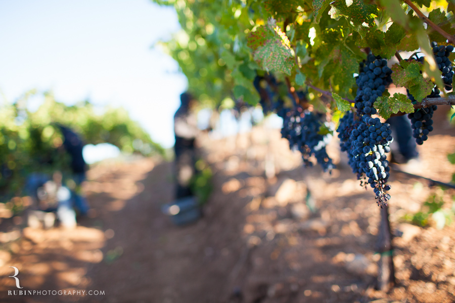 Vineyard and Lifestyle Photographer By Rubin Photography on Moon Mountain in Sonoma_0003