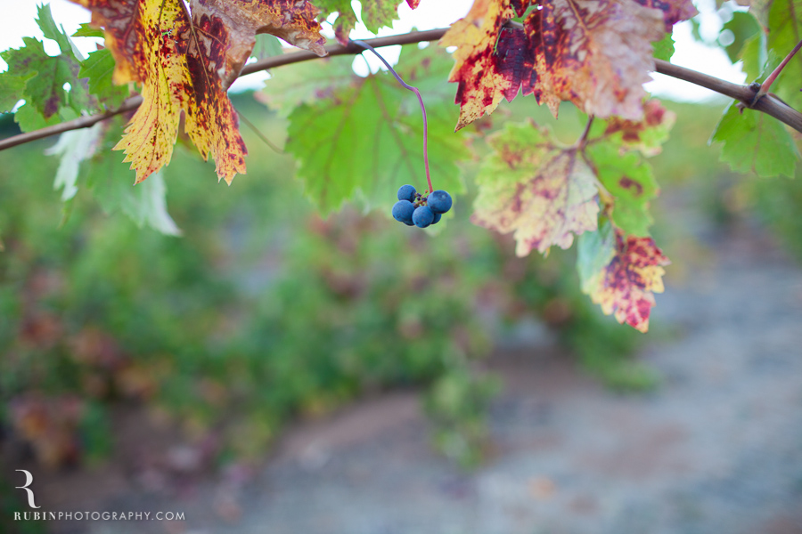 Vineyard and Lifestyle Photographer By Rubin Photography on Moon Mountain in Sonoma_0004