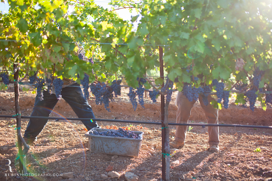 Vineyard and Lifestyle Photographer By Rubin Photography on Moon Mountain in Sonoma_0007