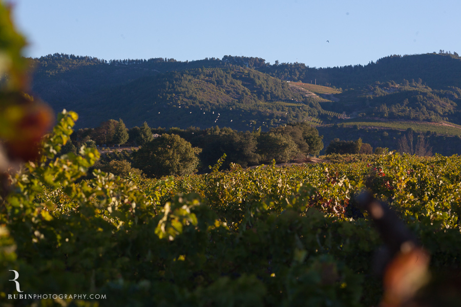 Vineyard and Lifestyle Photographer By Rubin Photography on Moon Mountain in Sonoma_0010