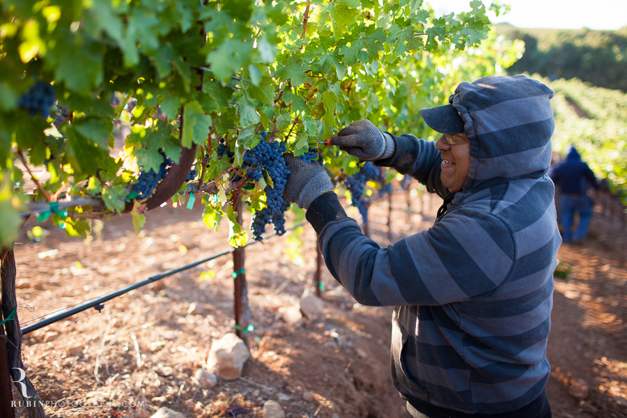 Vineyard and Lifestyle Photographer By Rubin Photography on Moon Mountain in Sonoma_0011