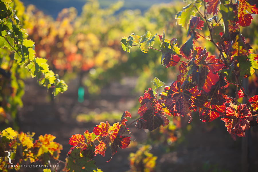 Vineyard and Lifestyle Photographer By Rubin Photography on Moon Mountain in Sonoma_0012