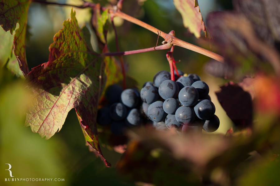 Vineyard and Lifestyle Photographer By Rubin Photography on Moon Mountain in Sonoma_0014