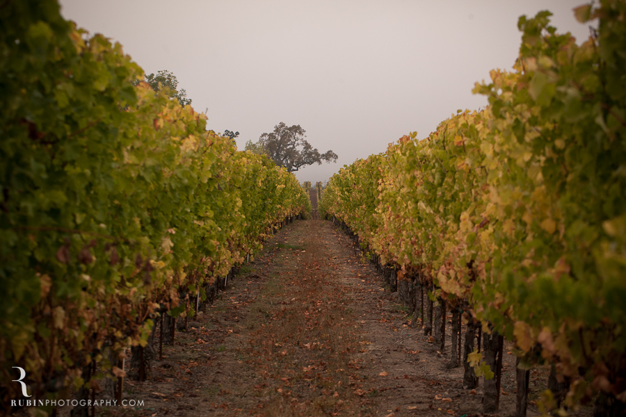 Kunde Winery Fall Vineyard Photographs By Rubin Photography in Sonoma_0008