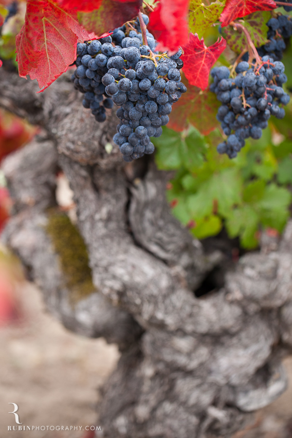 Old Vine Zinfandel Vineyard Photographs By Rubin Photography in Sonoma_0002