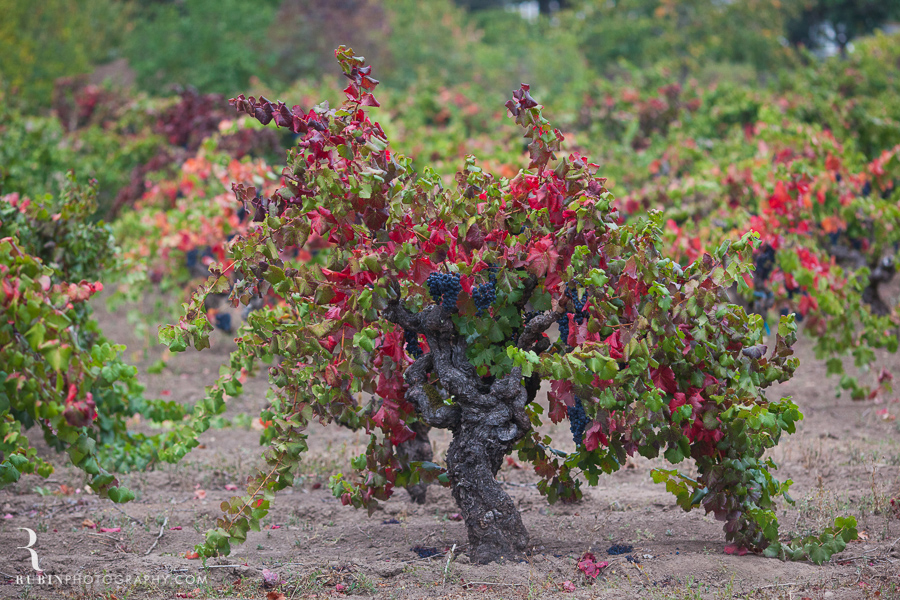 Old Vine Zinfandel Vineyard Photographs By Rubin Photography in Sonoma_0004