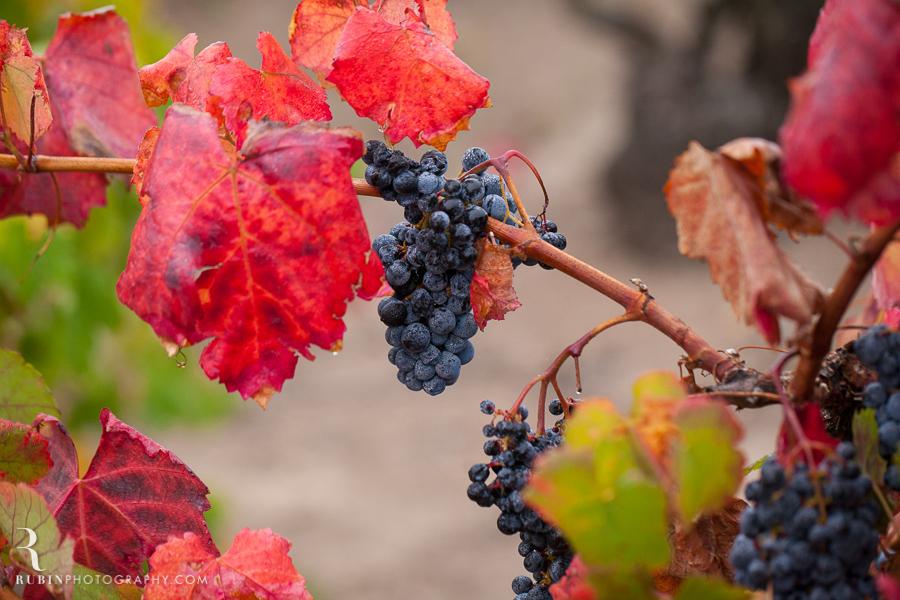 Old Vine Zinfandel Vineyard Photographs By Rubin Photography in Sonoma_0005