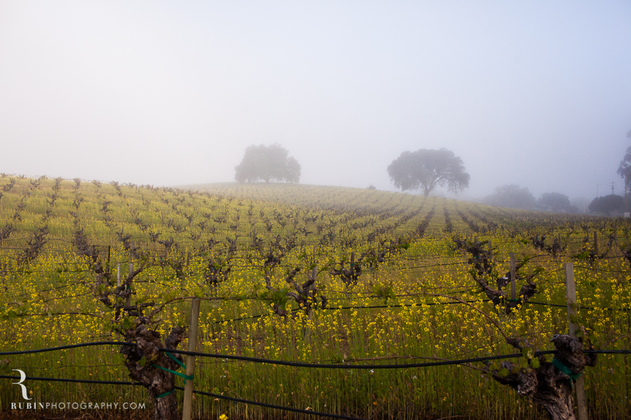 BR Cohn Vinyeard in sprint with mustard by Napa Wine and Commercial Photographer Rubin Photography in  Sonoma_0002