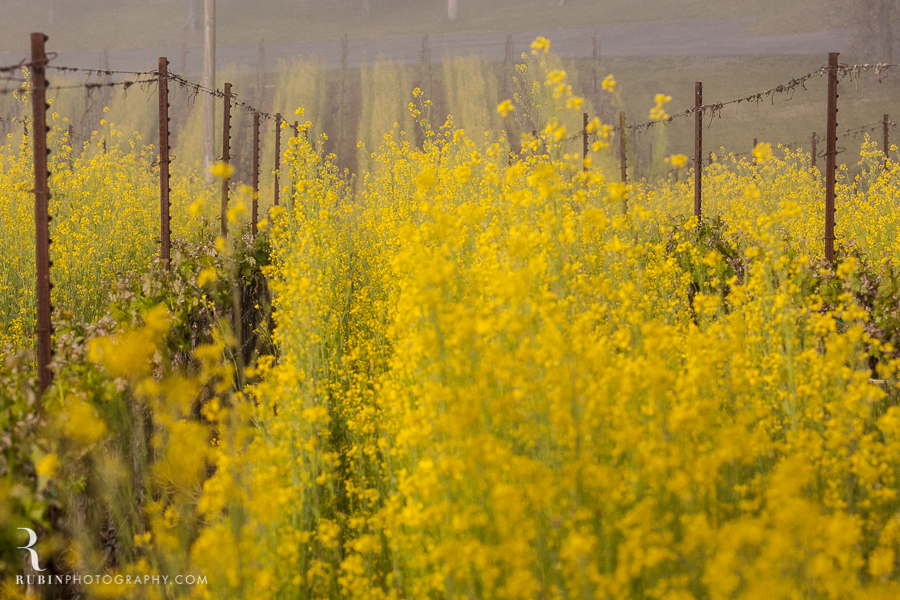 BR Cohn Vinyeard in sprint with mustard by Napa Wine and Commercial Photographer Rubin Photography in  Sonoma_0003