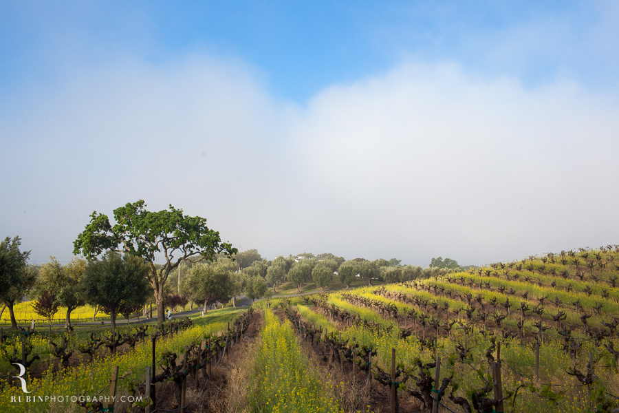 BR Cohn Vinyeard in sprint with mustard by Napa Wine and Commercial Photographer Rubin Photography in  Sonoma_0004