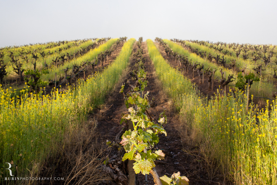 BR Cohn Vinyeard in sprint with mustard by Napa Wine and Commercial Photographer Rubin Photography in  Sonoma_0005