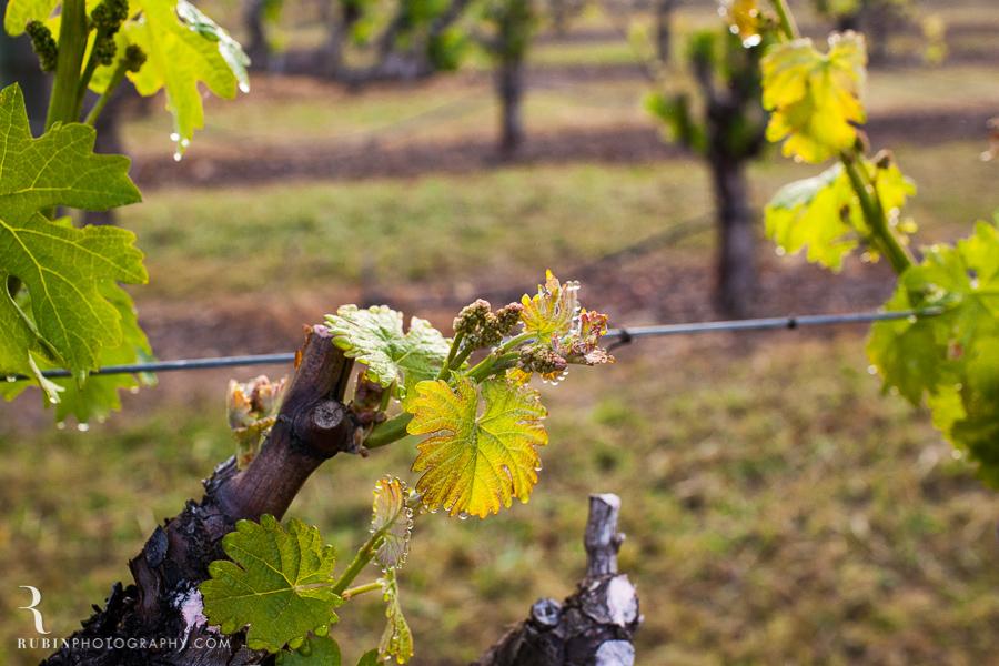 Foggy Vineyard by Napa Wine Photographer Alex Rubin in Sonoma_0003