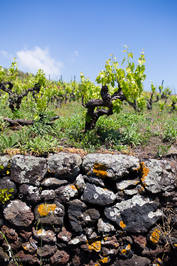 Benanti's Vineyard on Etna in Sicily Italy by Photographer Alex Rubin006