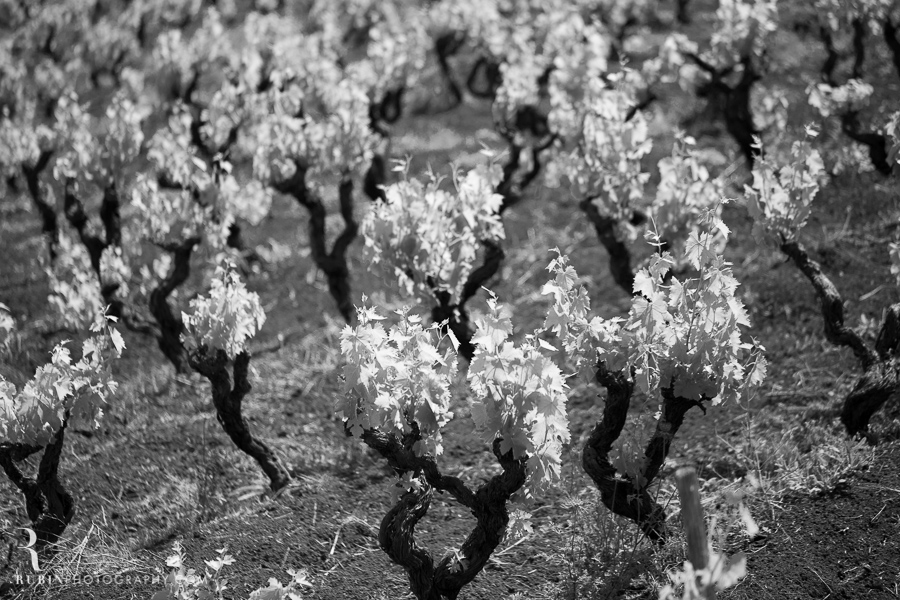 Benanti's Vineyard on Etna in Sicily Italy by Photographer Alex Rubin007