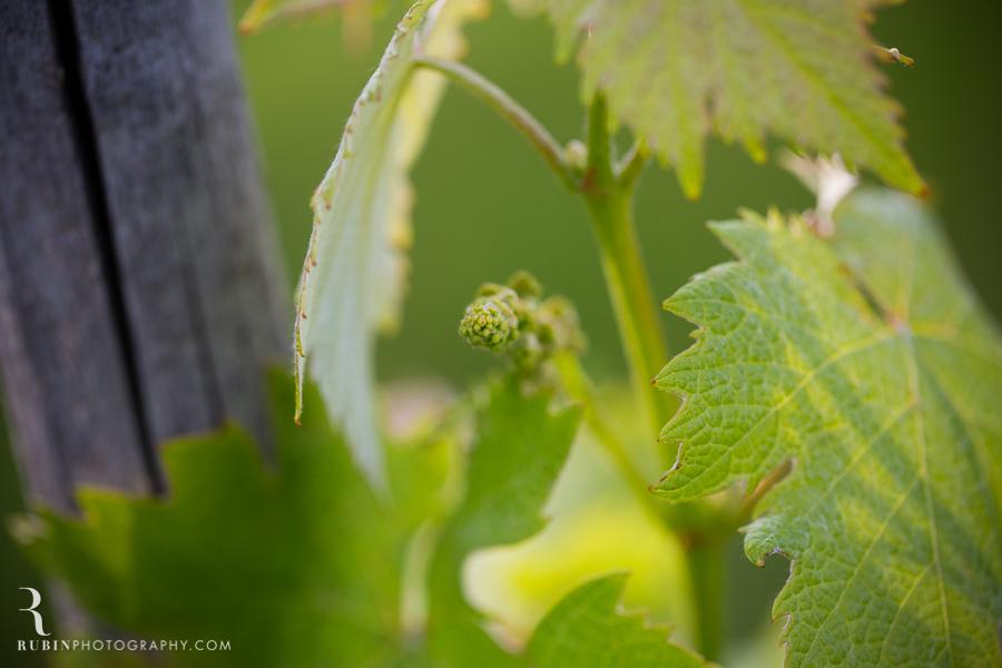 Tuscany Italy Wine and Vineyard Photography at Villa Branca by Rubin Photography005