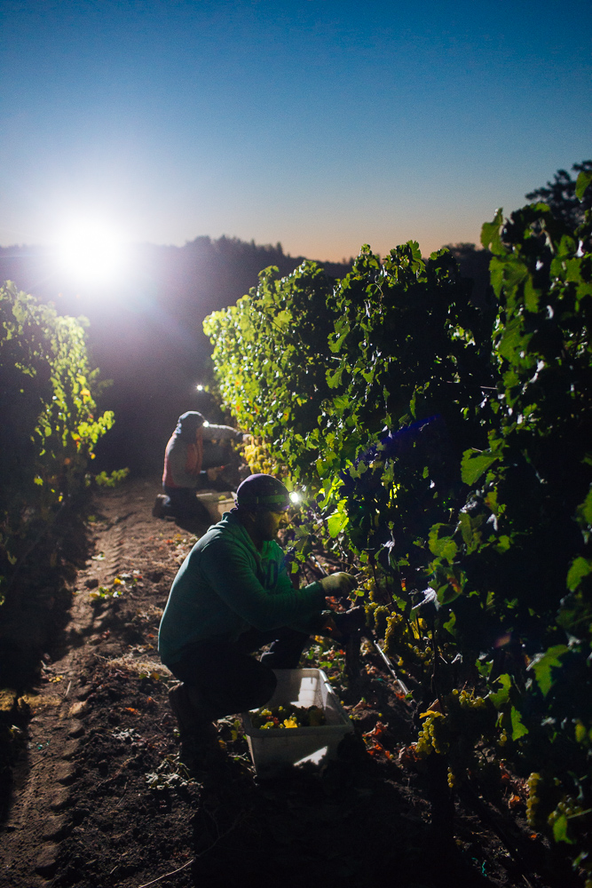 wine-harvest-photographer-in-napa-valley_0045