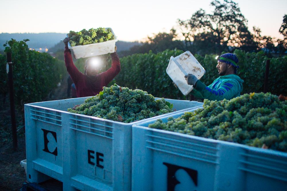 wine-harvest-photographer-in-napa-valley_0077