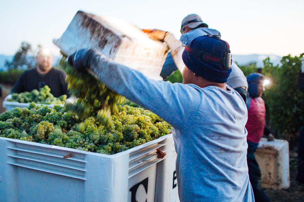 wine-harvest-photographer-in-napa-valley_0086