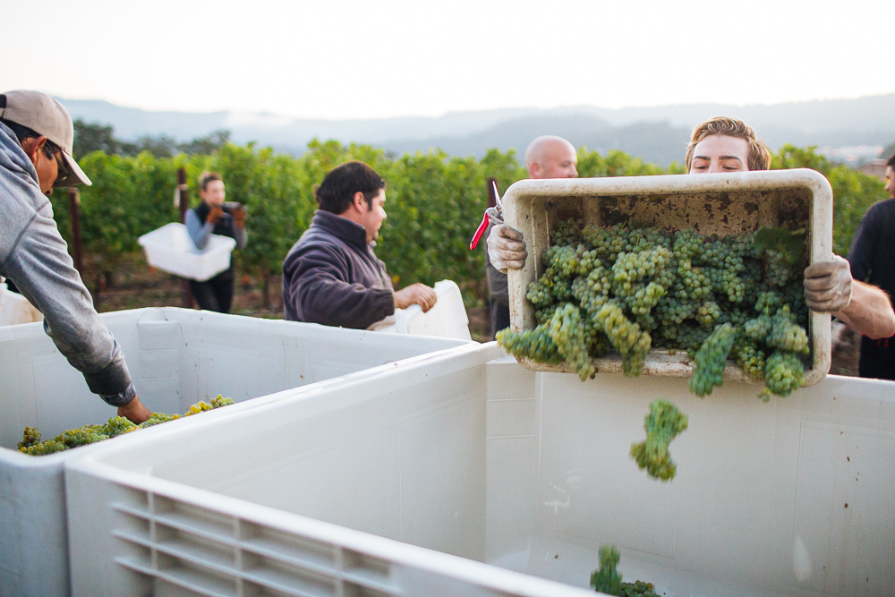 wine-harvest-photographer-in-napa-valley_0115