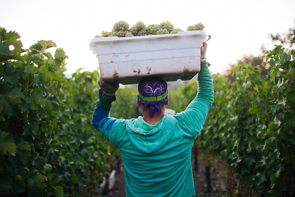 wine-harvest-photographer-in-napa-valley_0132