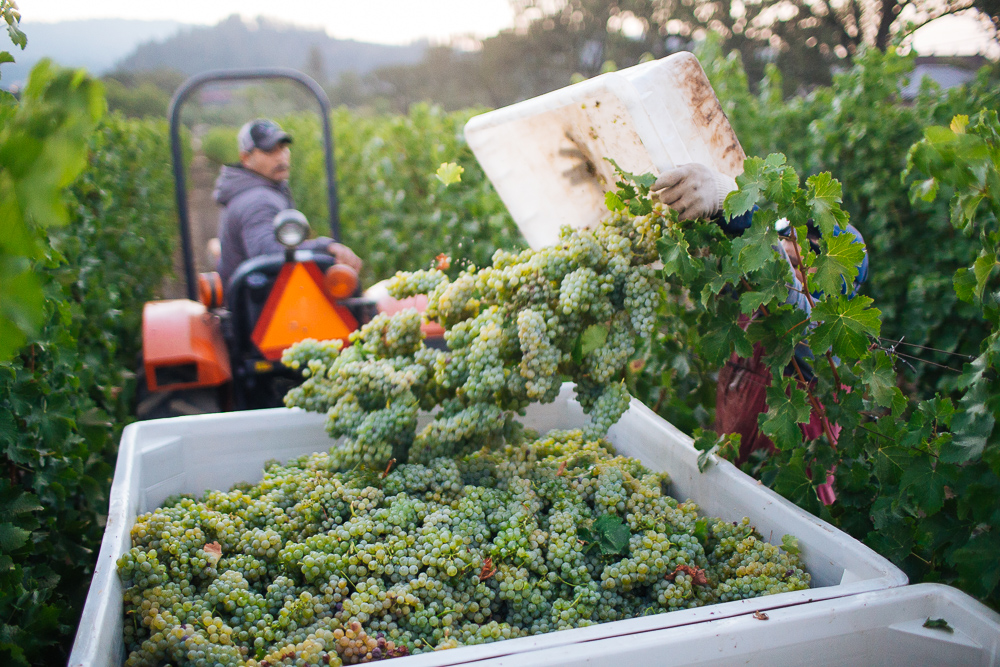 wine-harvest-photographer-in-napa-valley_0142