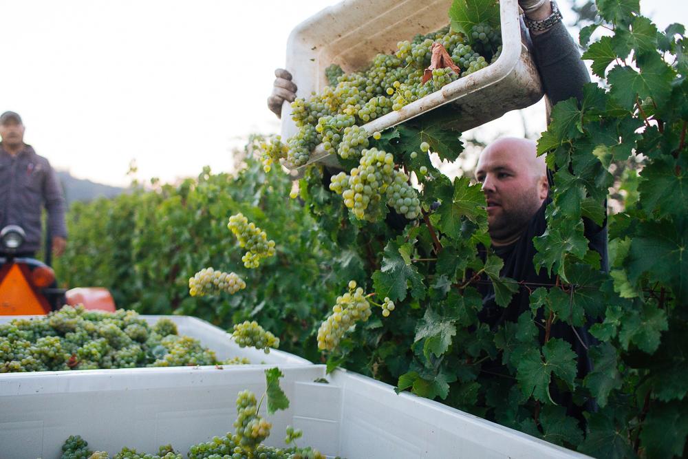 wine-harvest-photographer-in-napa-valley_0148