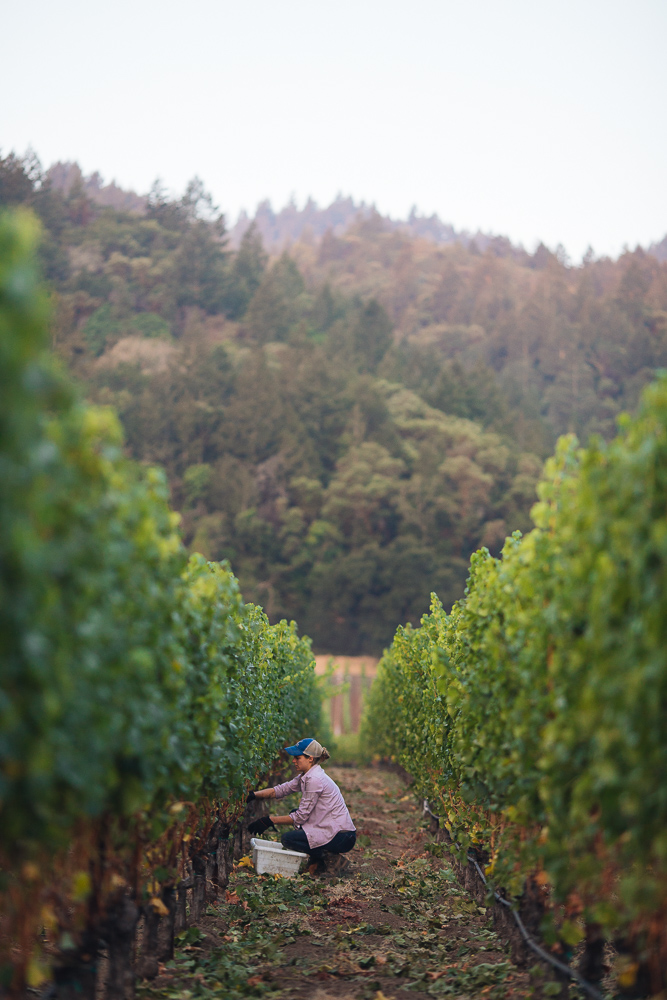 wine-harvest-photographer-in-napa-valley_0201