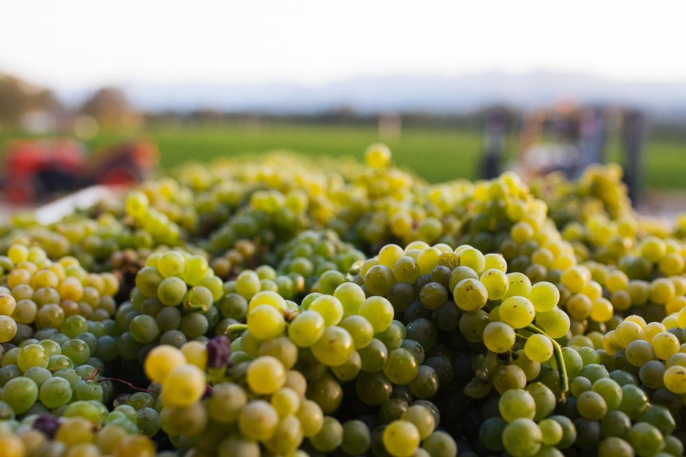 wine-harvest-photographer-in-napa-valley_0224