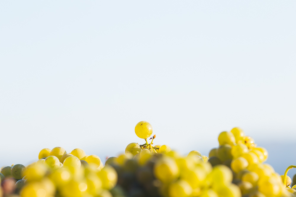 wine-harvest-photographer-in-napa-valley_0257