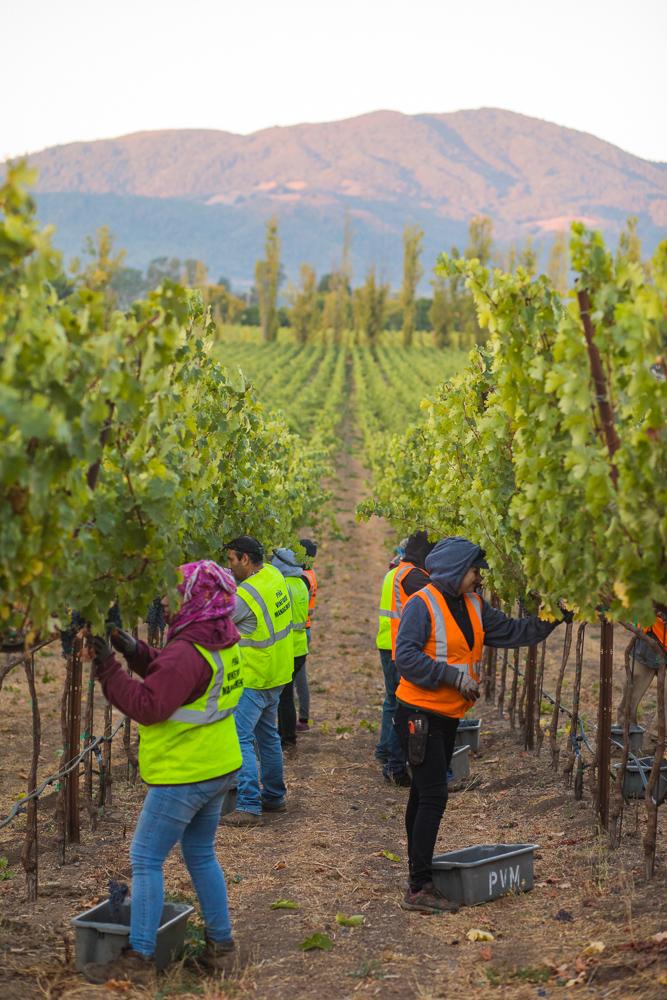 napa-harvest-vineyard-and-wine-photographer0008