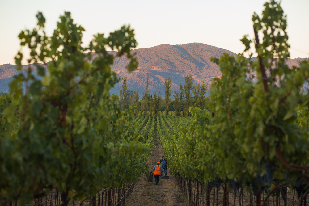napa-harvest-vineyard-and-wine-photographer0010