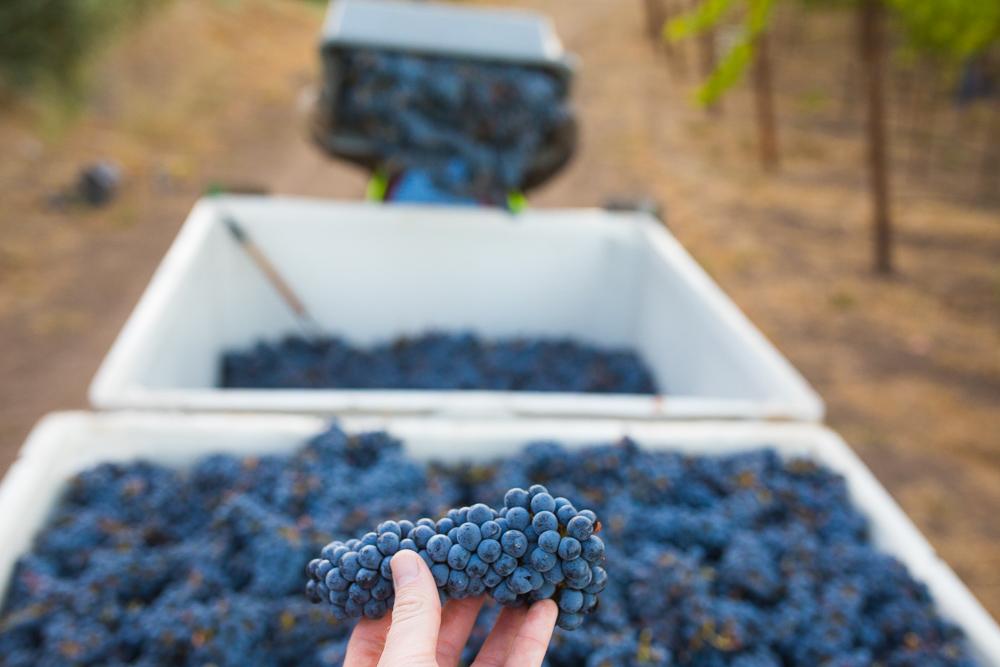 napa-harvest-vineyard-and-wine-photographer0012
