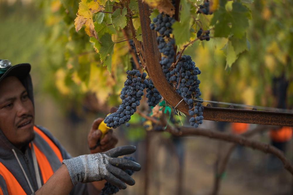 napa-harvest-vineyard-and-wine-photographer0016