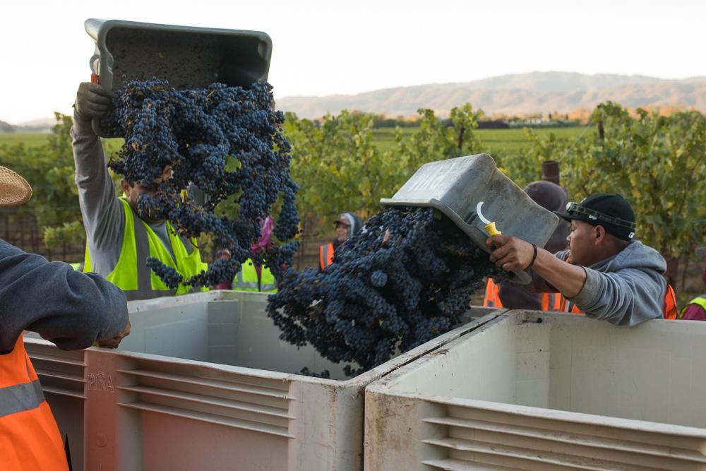 napa-harvest-vineyard-and-wine-photographer0017
