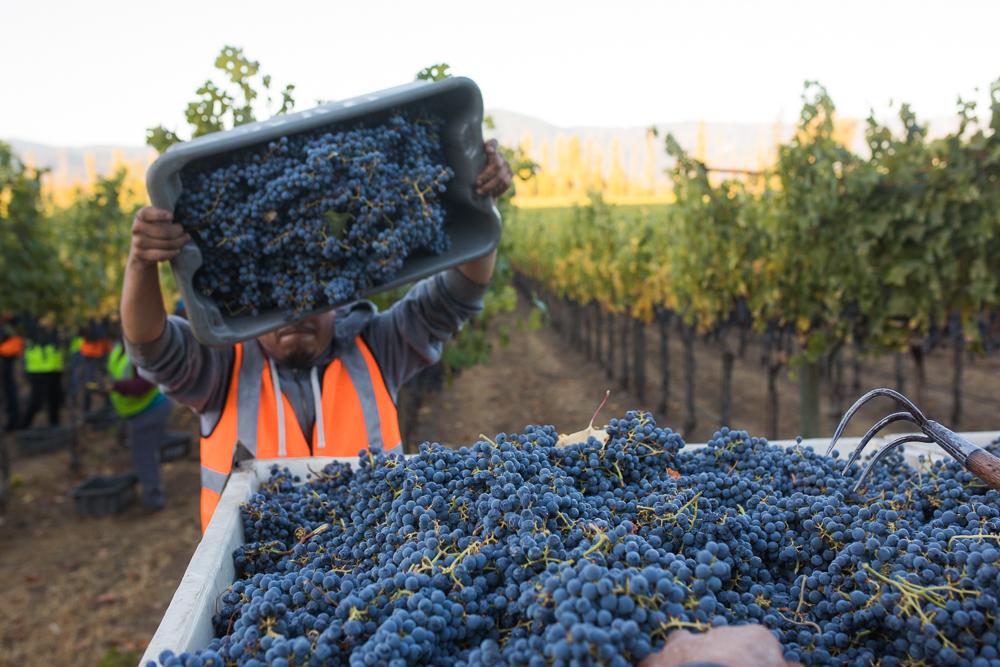napa-harvest-vineyard-and-wine-photographer0020