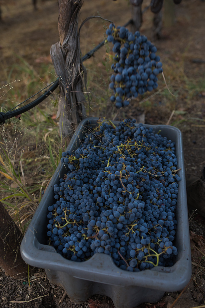 napa-harvest-vineyard-and-wine-photographer0021