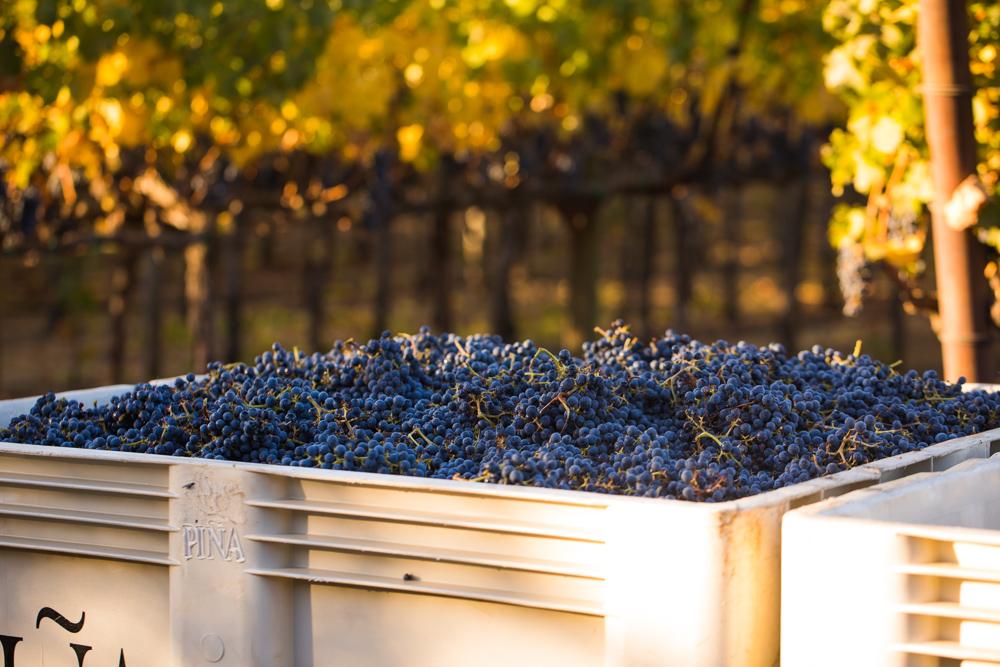 napa-harvest-vineyard-and-wine-photographer0033