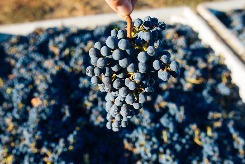 napa-harvest-vineyard-and-wine-photographer0036