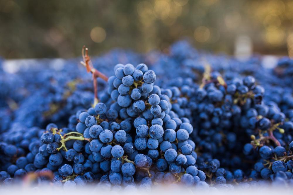 napa-harvest-vineyard-and-wine-photographer0037
