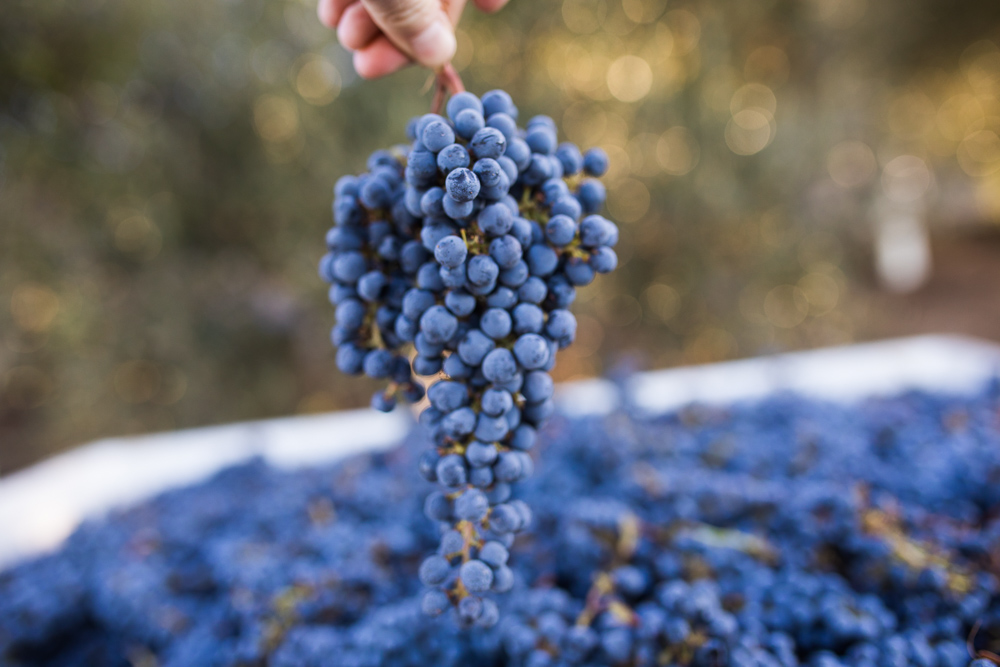 napa-harvest-vineyard-and-wine-photographer0038